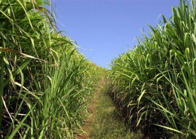 Sugarcane.-istock