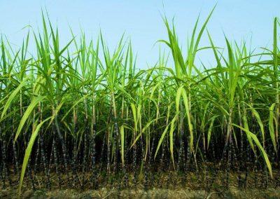 istock_sugarcane1